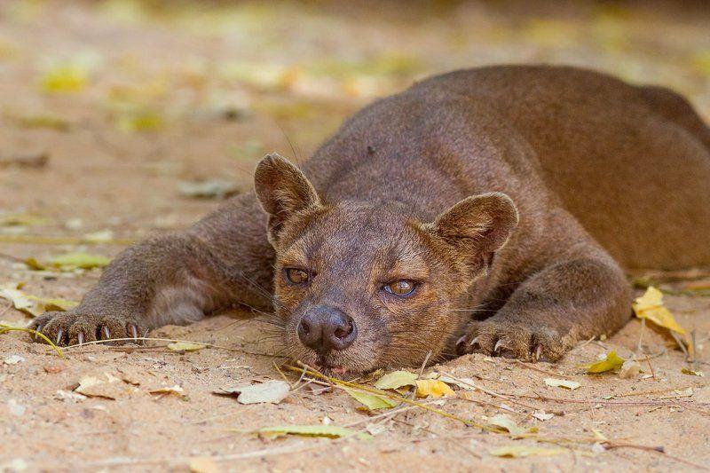 Мадагаскар, фосса, хищник Фоссаphoto preview