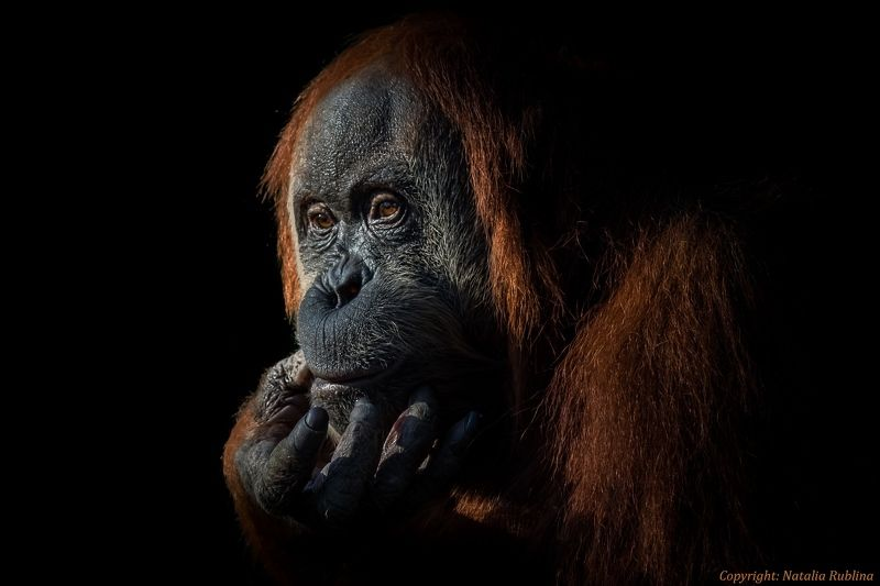 Взгляд, Глаза, Душа, Животные, Орангутан, Портрет, Сафари За парой глаз есть Душа...photo preview