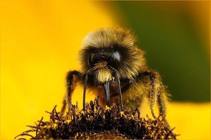 шмель, рудбекия, пыльца, цветок Шмелиный портретик...photo preview