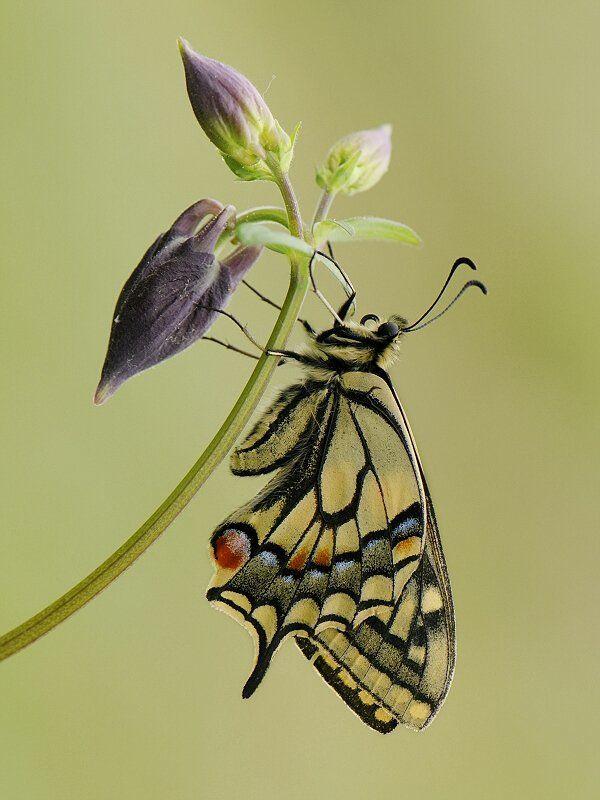 природа, лето, махаон Papilio machaonphoto preview