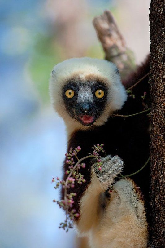 гЛЕМУРНЫЙ портрет в лесах Мадагаскараphoto preview
