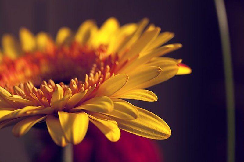 весна, цветы, гербера dreamsphoto preview