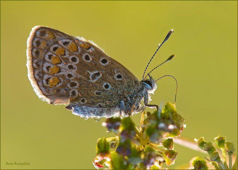 бабочка, цветок, утро, нектар Утренний нектарphoto preview