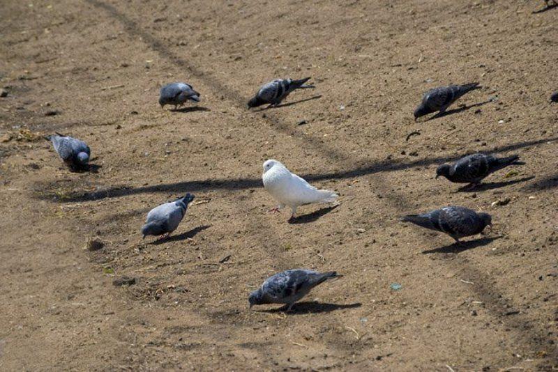 птицы, голубь, остановить мгновение Чужой среди своихphoto preview