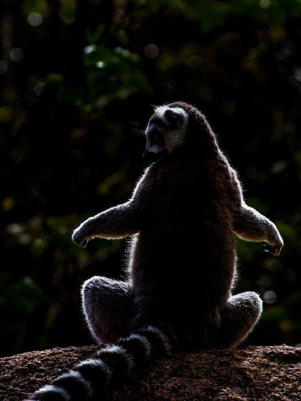 Мадагаскар, Лемур Погреть животикphoto preview