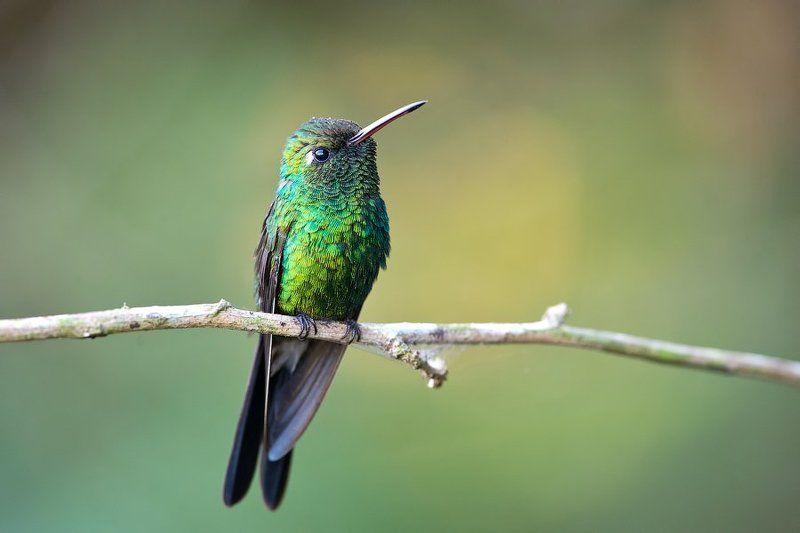 колибри, птица, куба, дикая природа, nature, colibri, wildlife, nature, cuba Изумрудphoto preview