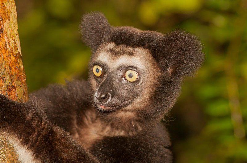 Мадагаскар, лемур, индри Индри индриphoto preview