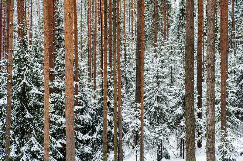 Зима, Карелия, Лес Февральская графика карельского лесаphoto preview