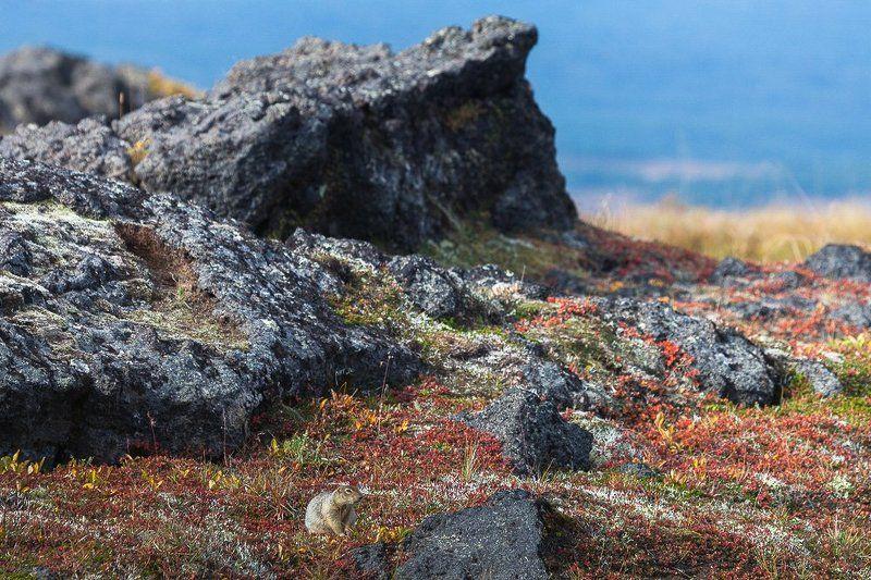 Суслик берингийский в интерьереphoto preview