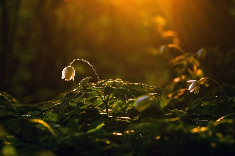 анемона, весна, вечер, закат, лес, свет, цветок Последний лучphoto preview