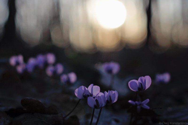 Адыгея, Майкоп, Первоцветы, Северо-западный кавказ, Цикламен Spring\'s Sunsetphoto preview
