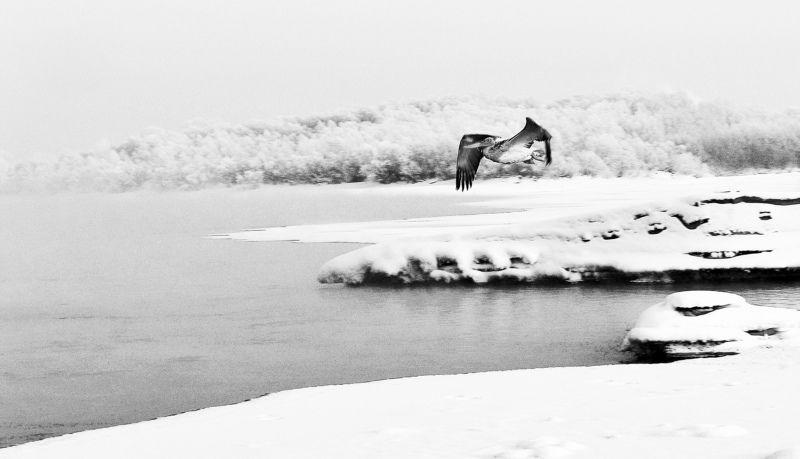 Перелет пеликана через Обь.Сибирь.photo preview