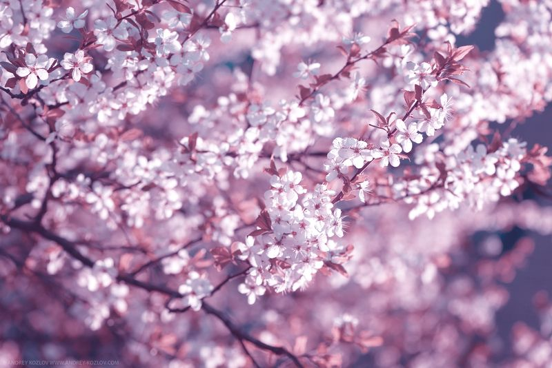 Blossom, Cherry, Flowers, Sakura, Spring, Tree Cherry Flowersphoto preview
