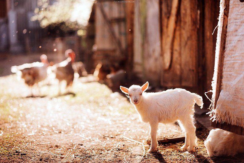 козленок, животные, деревня, свет, контровый свет photo preview