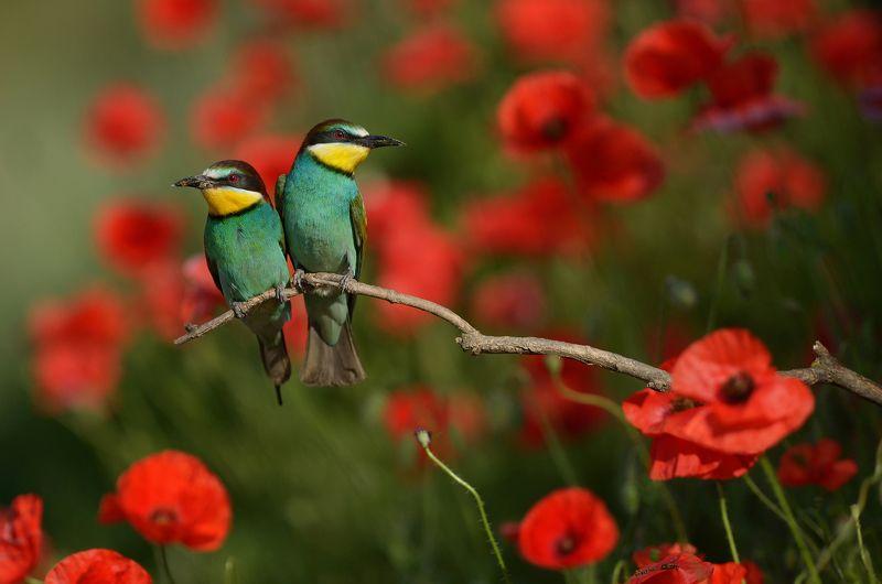 Bee-eater, Wildlife, Wildlife photography, Щурка Щуркиphoto preview