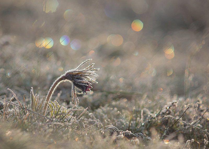 Сон-трава. Цветные сны Сон-Травы.photo preview