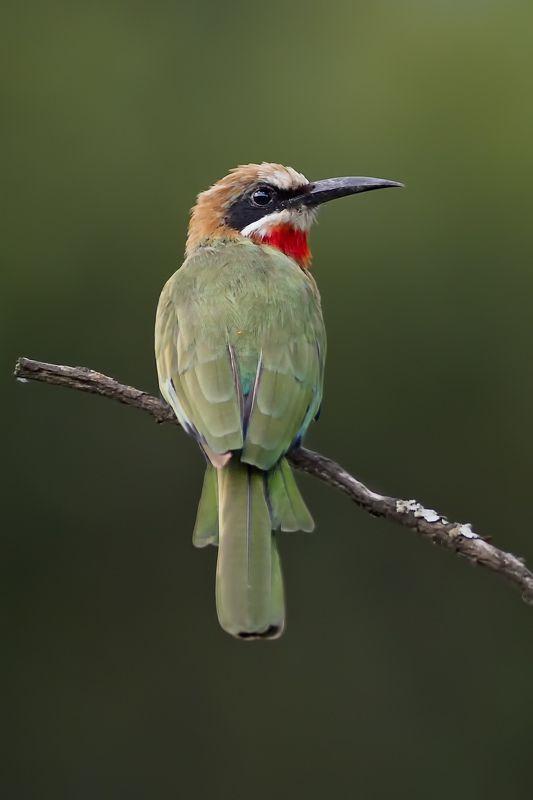 Bee-eater фото превью