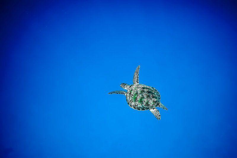 Turtle, Индийский океан, Мальдивы, Подводная съемка, Подводное фото, Тайланд, Цейлон, Черепаха Одинокий странникphoto preview