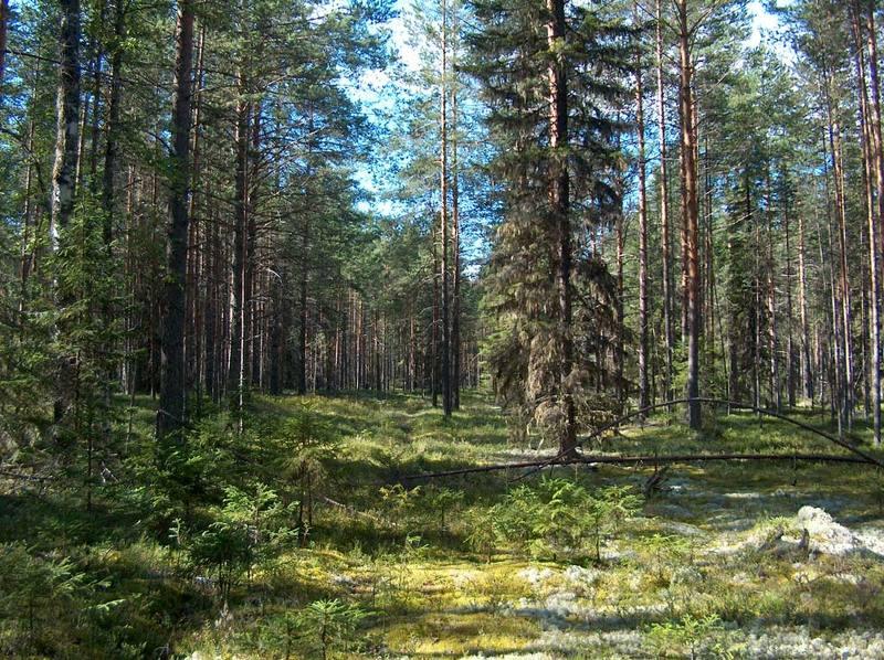 лес, тайга, ягель, елка, сосна, лето, солнце, полдень Лесные далиphoto preview