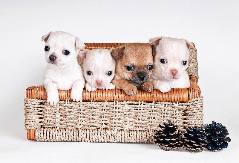 щенки, собаки, чихуа-хуа квартетphoto preview