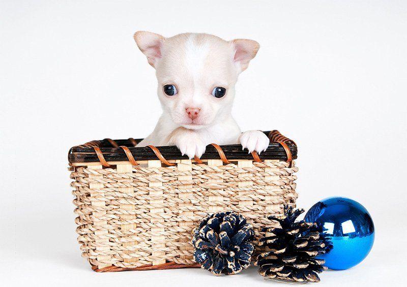 щенки, собаки, чихуа-хуа, dog, puppy вы не стойте слишком близко, я - собака, а не киска!photo preview