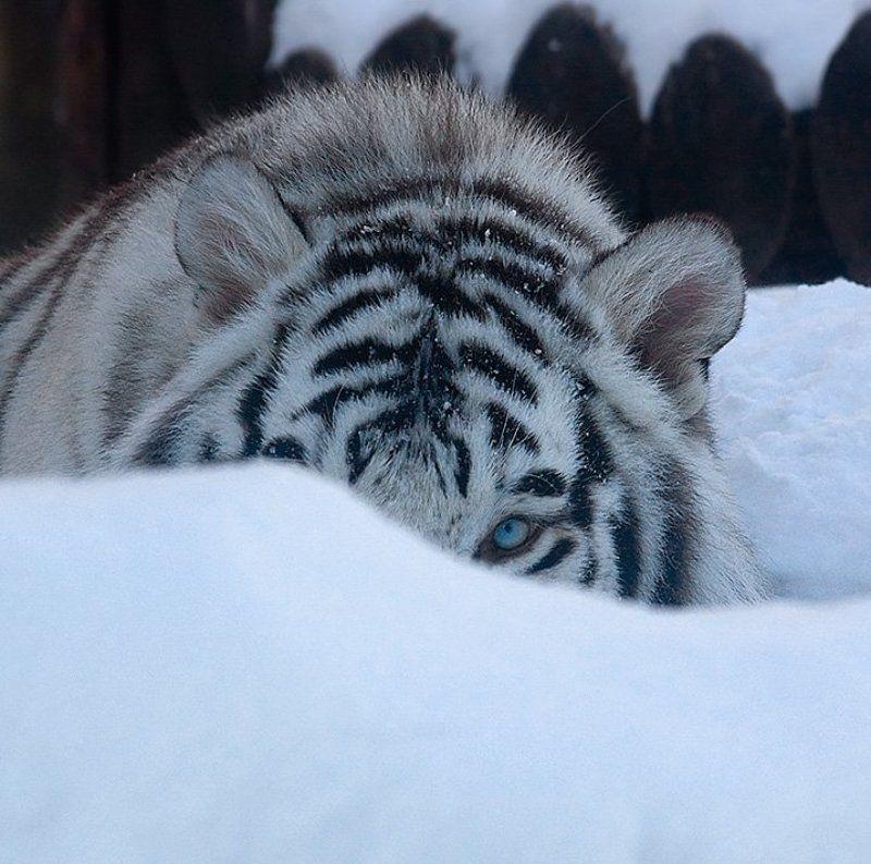 Поздравляю с годом Белого тигра! :)photo preview
