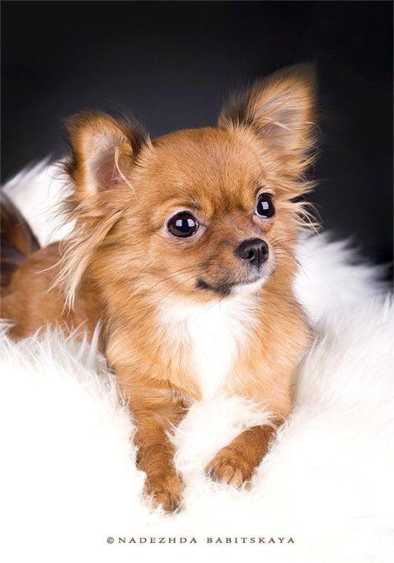 собаки, чихуа-хуа, dog, puppy Алисаphoto preview