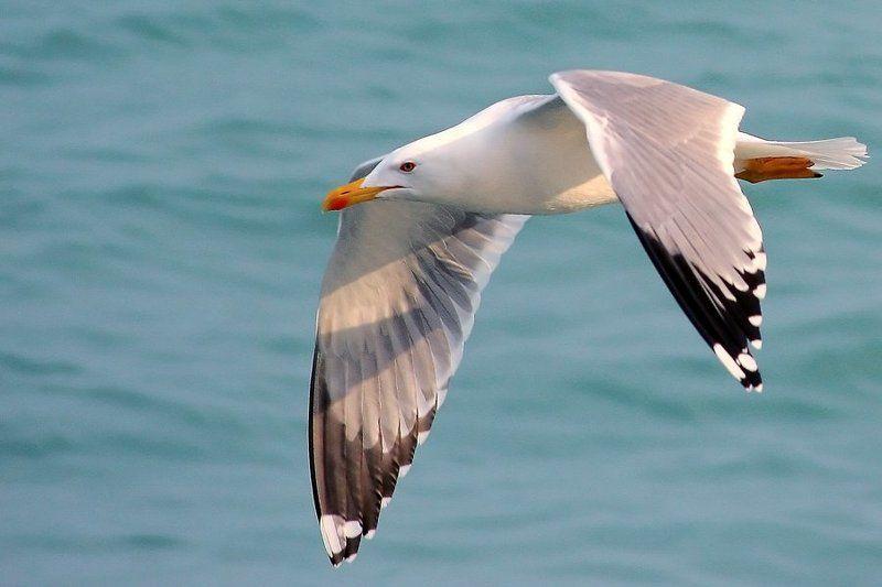 море, чайка, полет, белой, серый, голубой, бирюзовый полетphoto preview