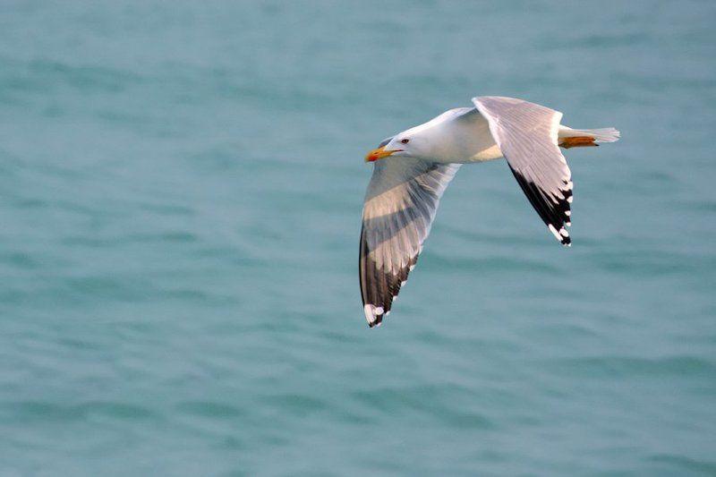 чайка, море, вода, голубой, серый, белый Орешки говоришь - в пролётеphoto preview