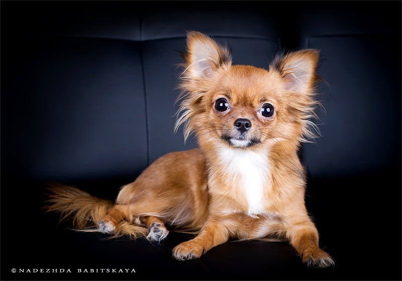 собаки, чихуа-хуа, dog, photo preview