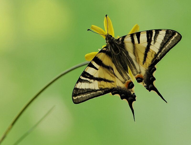 Iphiclides podaliriusphoto preview