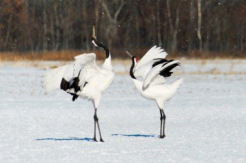 japan, crane, cranes, япония, журавли, снег, танец Танец журавлейphoto preview