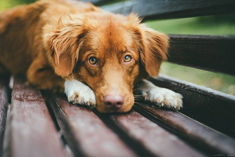 dog, toller, red, animal, cute Толлерphoto preview
