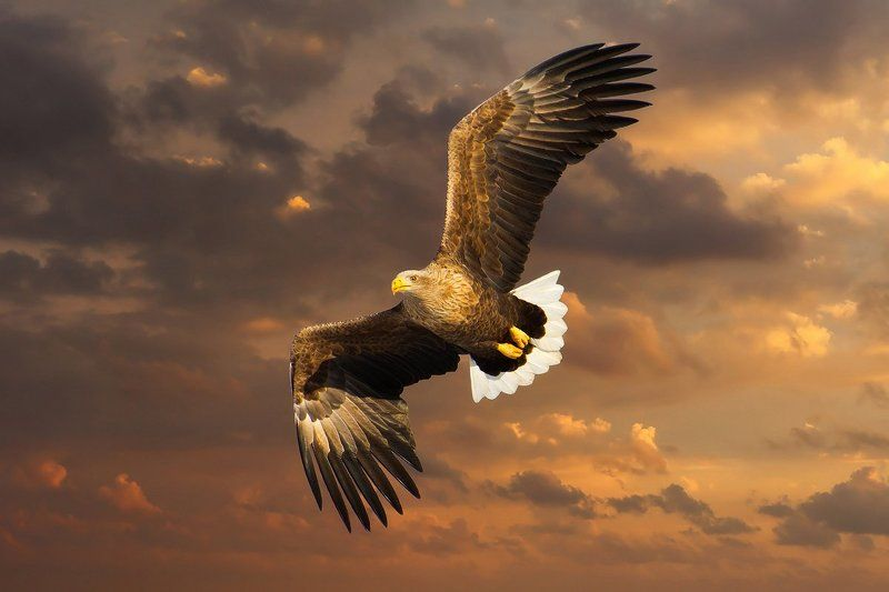 орлан, птицы Орлан - белохвостphoto preview