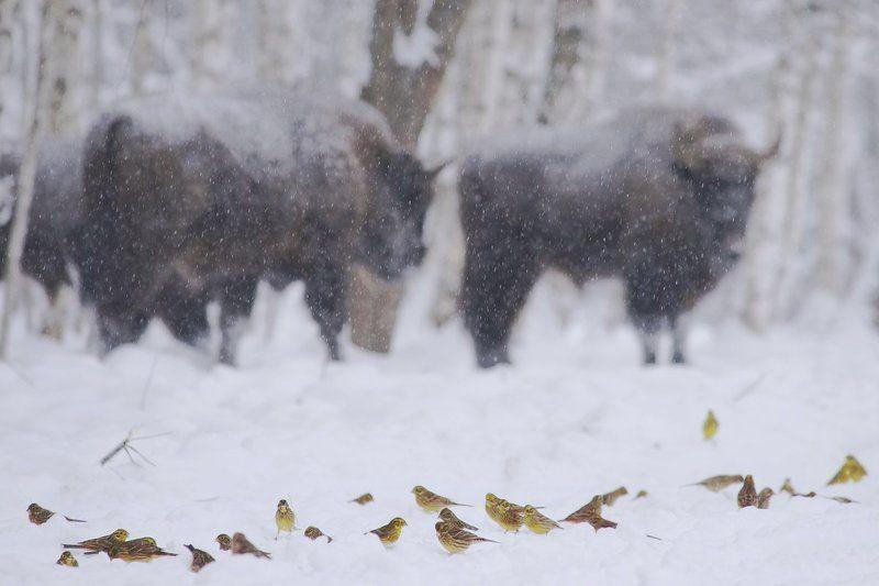 Заповедник, Зима, Зубр, Птицы Маленькие и большиеphoto preview