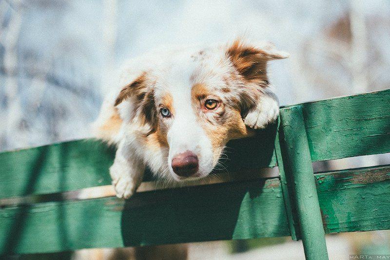 собака, австралийская овчарка Моллиphoto preview