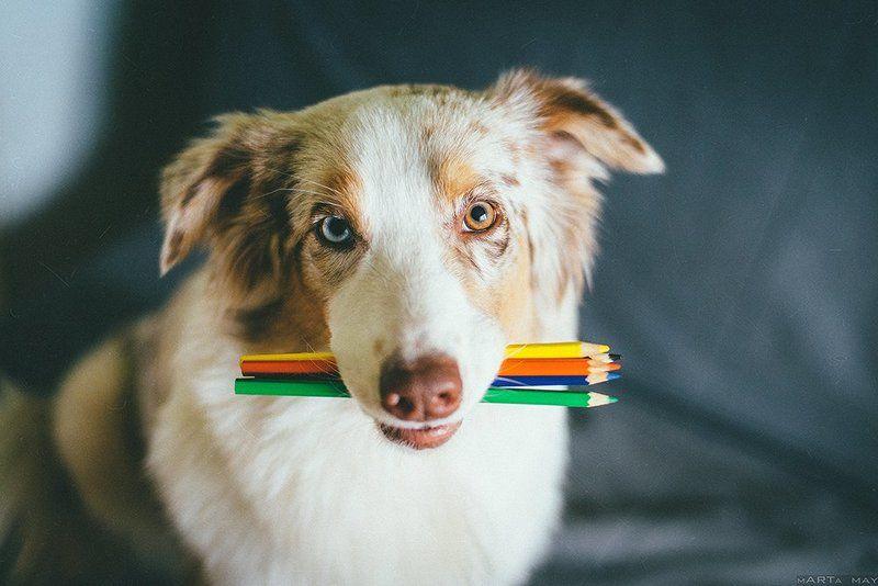 собака, карандаши, художник, австралийская овчарка Пора рисовать!photo preview