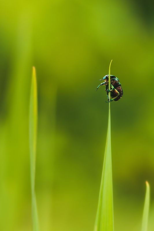 bug, macro, may, beetle, green, observer, travel, live, portrait, yellow, bokeh, environment, observe, grass, up, watch, summer, summertime, emerald, lookout, watchman, sentinel, mast, pole, nature, blade, purposeful, ambitious, dexterity, adroitness Дозорный.photo preview