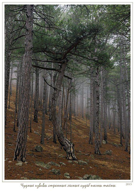 Анатолий покровский, Весна, Крым, Лес, Сосны, Туман Чудные извивы странных лесных судебphoto preview