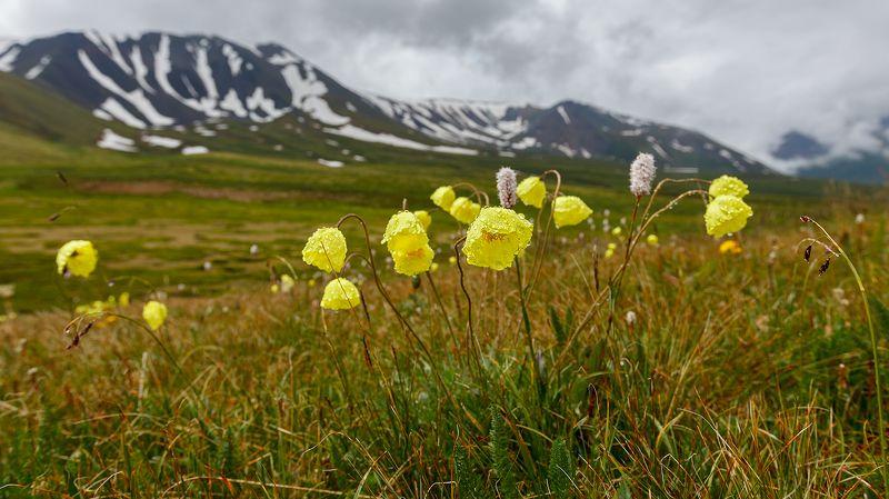 Цветы Алтаяphoto preview