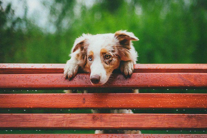собака, австралийская овчарка, дождь После дождяphoto preview