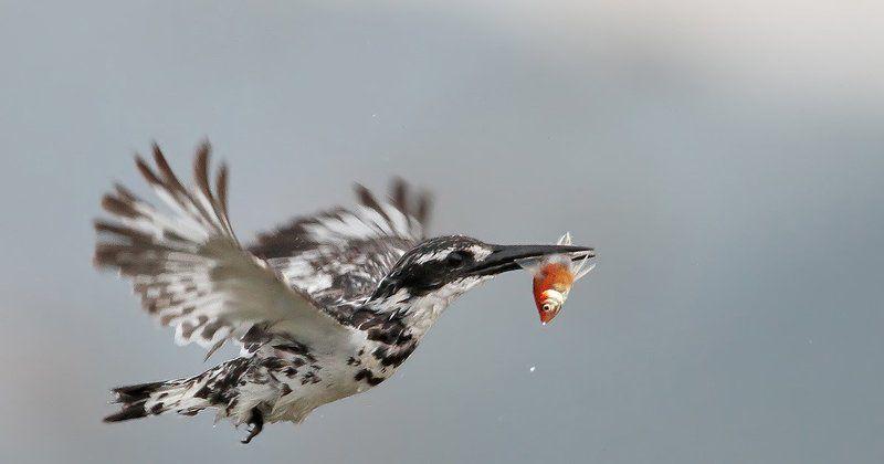 7d, animals, birds, fish, kingfisher, животные, зимородок, птицы, рыба Маленький охотникphoto preview