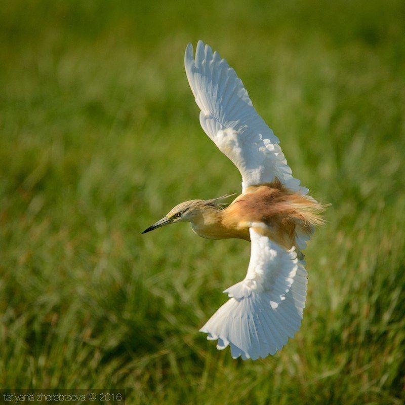 желтая цапля, my-mriya, I can fly! Желтая цапля.photo preview