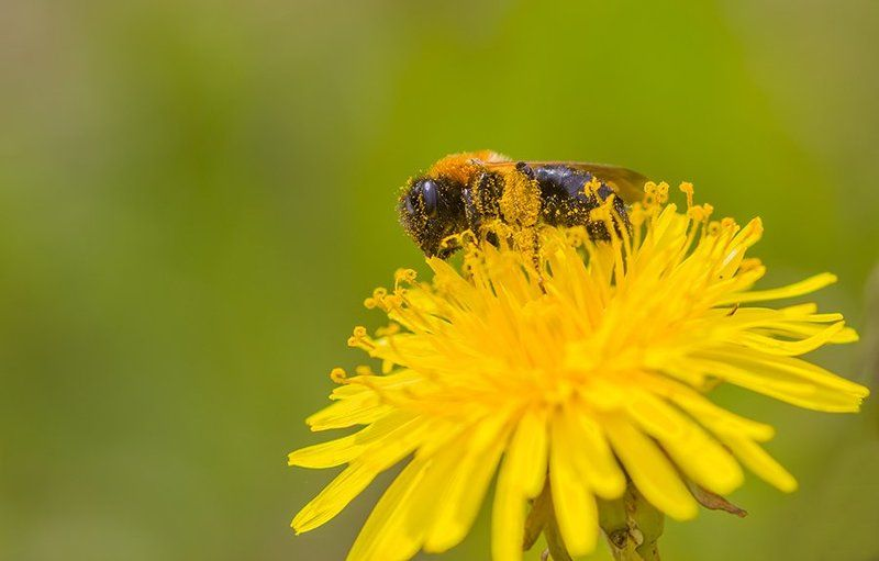 Природа, макросъемка, макросъемка насекомых, насекомые. цветы, одуванчик За обедомphoto preview