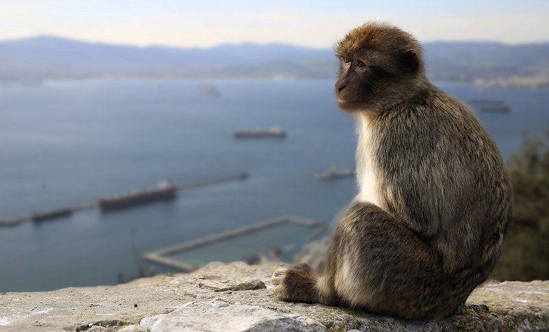 Великобритания, Гибралтар, Гибралтарский пролив, Испания, Магот, Обезьяна, Средиземное море Гибралтарphoto preview