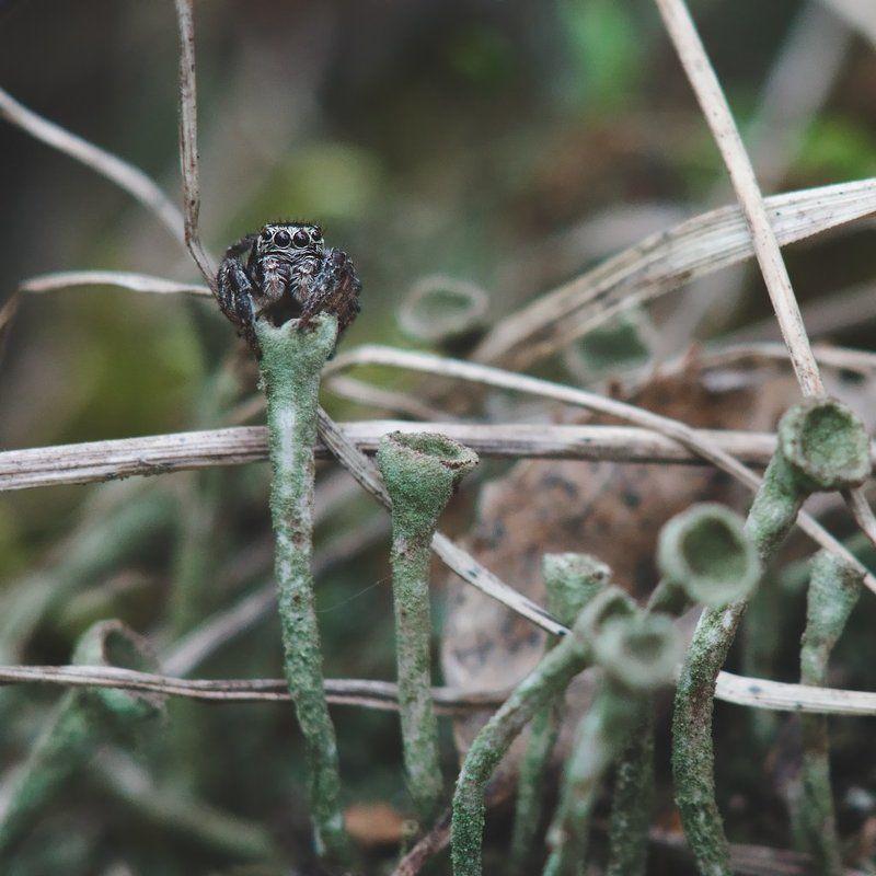 макро, паук, скакун, macro, spider, salticidae photo preview