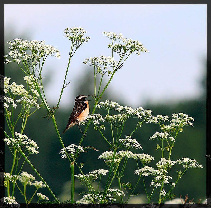 птичка, луговой чекан photo preview