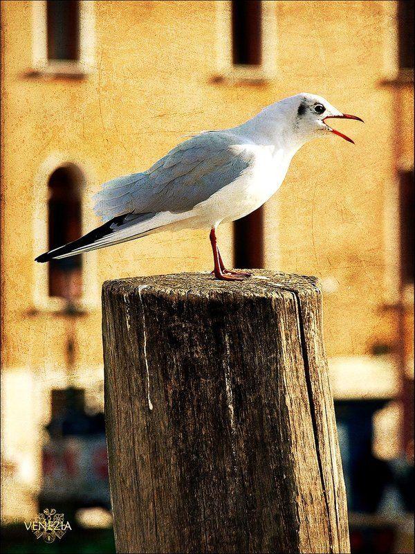 птичка,венеция,mistern пернатая венецианкаphoto preview