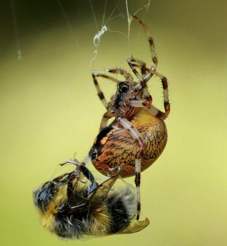 паук,шмель Удачная охота!photo preview