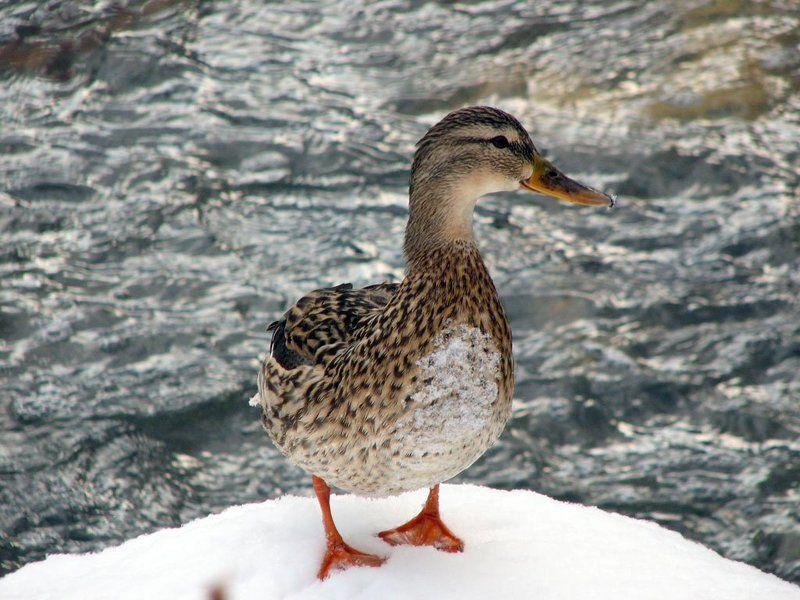природа, река, вода, снег, утка, кряква А вот и я...photo preview